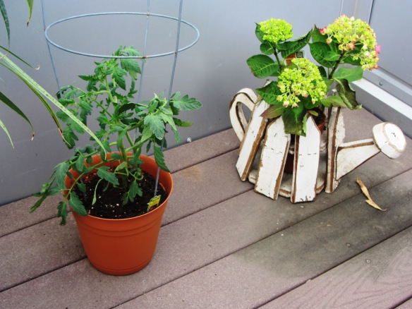 A roma tomato plant and hydrangeas, my favorite!
