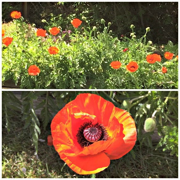 See!  Poppies are so pretty.