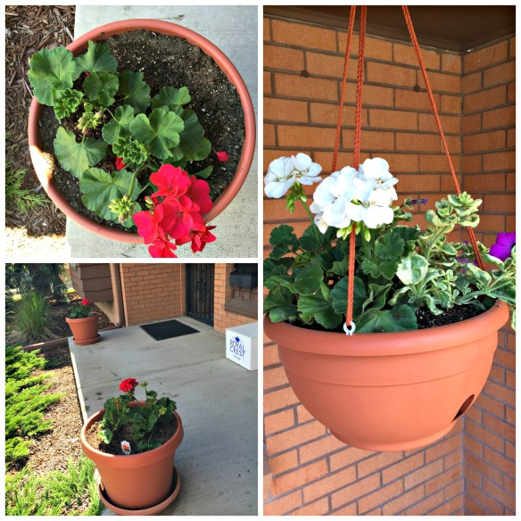 In the front we have Geraniums & Petunias.